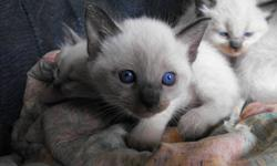 Kittens for sale coats vary from short to long,blue eyes,gentle kittenswho don't scrath or bite.They are eating solid food and useing litter box.   PLEASE DO NOT REPLY BY E MAIL CALL OR TEXT   902 371 5948 .