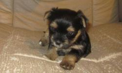 These are the sweetest puppies. They have been raised with us, handled and loved from the day they were born. We spend many hours each day introducing them to people of all ages, other animals of all sizes. They are started crate training. The first