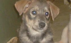 Husky/Lab 2 month old. Dewormed - Litter trained and child friendly Hurry....Only 1 MALE left !