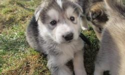 Husky puppies for sale. They will be ready to go to new homes on Dec 28th when they are 8 weeks old. I have both parents and they are Siberian husky. They will be vet checked, dewormed and needled before leaving my home. Parents are in last 2 pictures.