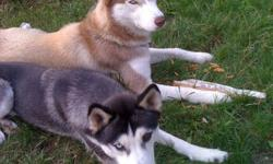 Puer-bred Husky puppies for sale, different colors, different eye colors, blues and brown and a combo of both, boys and girls ... mom and dad on site.. puppies are 3 weeks old so eye color and markings are still changing but all are as cute as buttons...