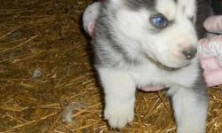 Lovable Husky pups for sale Awesome Temperaments Great with Children Will be ready to go by the end of January. If you are interested in picking out your favorite puppy please email or call. House 780-698-0003 Cell 780-206-7843