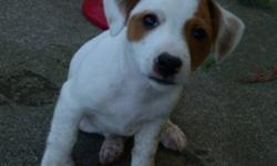 We are 2 male jack russell puppies. We have been raised in a home with cats and kids, we love to play with them! We have had our shots ,dew claws, been dewormed,tales docked,flea treatments(but need our next one now) and we have be vet checked. We need to