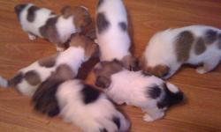 4 Boy and 2 Girl Jack Russell Puppies $400.00 The puppies will have their first check-up and needle and be dewormed. Puppies grow to be 15-18lbs. They are very smart, friendly and great with kids. All 4 boys are white and brown, the 2 girls are white and