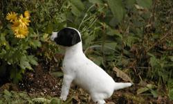 Salishan Terriers is offering 4 adorable puppies for sale. These pups range from rough/broken to smooth coats. They are happy, healthy and will leave here with first shots, a sales contract, health guarantee and pedigree. I have been breeding JRT's for 25