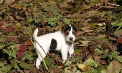 Salishan Terriers is offering 3 puppies for sale. We have a tri color male, a Black & white male and a predominately white female with some ear coloring. These pups have smooth to lightly broken coats, they are happy, healthy and will leave here with