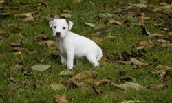 Salishan Terriers is offering 3 adorable puppies for sale. These pups range from rough/broken to smooth coats. They are happy, healthy and will leave here with first shots, a sales contract, health guarantee and pedigree. I have been breeding JRT's for 25