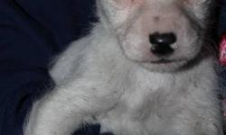 cute rough coat Jack Russell pups. Will be dewormed. 175.00 1 small female and 2 males avail