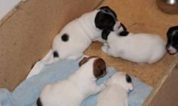 Healthy, energetic Jack Russell Terrier puppies for sale have had their tales docked, dew claws removed and have been vet checked. They have been raised with other animals and children, as well as started on paper training. Their parents are excellent