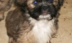 Both of these breeds are rarer and make great family pets. The Chin is known as one of the quietest breeds and the Brussels Griffon will always be by your side. As the pups should be under 10 pounds when grown they make a great companion, travelling dog.