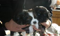 Ready to go by January 5, 2012.   Mom is Dacshund and Dad is Jatzu.