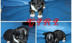 "WE HAVE NEW LITTER OF 3 SO TINY T-CUP CHIHUAHUA PUPPIES! ONLY 1 TINY BOY & 1 CUTE GIRL AVAILABLE . THEY JUST PERFECT! WITHOUTH SHOT $650 /EACH . NOW 5  WEEKS OLD NOW! UP-DATED ; WHITE WITH BLACK MASK LITTLE GIRL IS SOLD"" THEY WILL BE AROUND 4 LBS OR ""LESS"