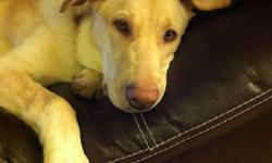 """I am currently fostering a female Lab X who is approx 9 months old. """"Keela"""" was rescued and brought to Happy Dog Acres months ago and since then has learned the basics and interacts very well with people and dogs. She is now living with me and my 3 dogs"""