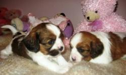 Gorgeous Cavalier x Papillon puppies. Will come with shots to date and 2 dewormings. Ready to go January 3rd. Call now to visit and reserve your puppy today. 1-204-347-5517.