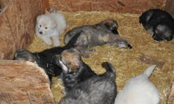 ckc reg litter  , theses puppies are now 6 weeks old and  will soon be ready for there new homes , there are some males and one female left..   black  & reds , full white and sable  , for more info on these great puppies please call or e-mail ...