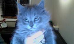 We have 3 beautiful kittens to give away to loving homes. Both of their parents are gorgeous, healthy and have great personalities. One kitten is a long-haired male pure grey with matching grey eyes; another is medium haired pure black female; and the