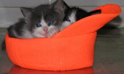 two female one male kitten. friendly and litter trained.long haired