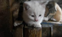 These cute kitten are in need of a good home. If looking for a couple of good mousers I also have 2 female barn cats. One is all white , and the other calico. Three of the kittens are orange/white and one is all white.
