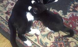 The mother is optional, looking for a good home for kittens. Separate or together, no needles. They have been treated for fleas. Male and Female. Please email if interested.