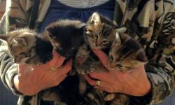 We have four kittens to give away. They are about six weeks old and are eating solid food. There are 3 males and one female in the litter. One of the males is black and other two males are tortoiseshell. The female is tortoiseshell. Also, we have a