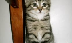 1 Very friendly male kitten to give away. Good around dogs. Ready to go December 18. E-mail if interested.