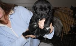 4 female 3 male puppies, ready to go mid January