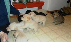 Puppies ready for Christmas! This family of 10 have beautiful personalities and colors. Mother is half lab and is yellow color, father is also half lab and is black color. Both are very gentle, good with children, intellegent, and are very alert. Puppies