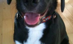 This adorable little fellow is Smokey, he's an 8 month old Lab mix boy, neutered, housebroken and fully vaccinated. Smokey weighs only about 30 pounds and we don't expect him to get much bigger. Smokey loves to play with other dogs, so if you're looking