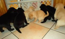 Lab mix puppies 2 black males 3 black females and 1 gold male and 4 gold females. Mother lab mix father pure lab. All puppies are eating and puppy pad trained.