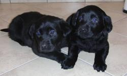 4 purebred Lab puppies for sale, 4 males. They are  vet-checked with first shot and dewormed. The mom is a choc. Lab and the Dad a black Lab. The puppies are  ready to go.