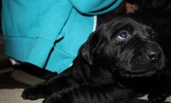 Two lab puppies left! 1 female and 1 male. The mom is a registered english lab. the father is a purebred but not registered.