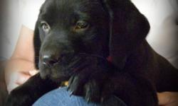 3 Black FEMALE Lab Puppies available.   Vet Checked, Vaccinated and Dewormed One Year Health Guarantee Provided Puppy Food Provided   Excellent temperaments!   Call, Text or Email 905-745-8443