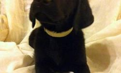 We have 2 very handsome and loving black lab puppies left for sale. They have been well socialized with kids and other pets and will come Both remaining puppies are males - vet check - 1st shots - dewormed - puppy starter pack with food, toys, chews,