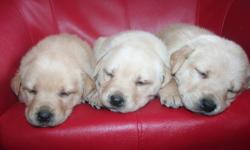 We have 11 puppies for sale that are 4 weeks old now. Will be ready to go at the beginning of February at 8 weeks. There are 3 black males, and 3 blonde males. There is 1 black female, 3 blonde females, and 1 reddish female. We think that the blonde ones