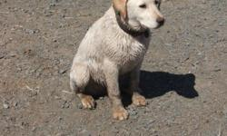 1 year old yellow almost white lab retriever mix neutered  and all needles up to date . he is a great family dog , gets along with other dogs  use to horses, and cats as well . Loves kids.  he is kennel trained  and knows  the  basic commands. We do not