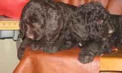 Labradoodle Chocolate Puppies have arrived.  Multi-gen, Non-shed, Allergy friendly puppies.   Puppies will be a small standard size.  Puppies will have a one year health guarantee, be up to date on vaccinations, and deworming.  Puppies will have spay or
