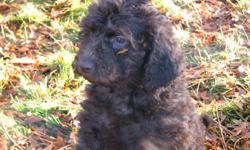 Labradoodles have the best traits of any breed We have been raising labradoodles since 2007. Since their birth on November 10, 2011as with all of our litters, they have lived in our home. Following Caesar Milan,s tenants of Exercise, Discipline and
