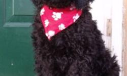 """2 males and 1 female available, puppies have been vet checked, have first and second shots, dewormed X 3, and come with a written health guarantee. They will mature to approx 24"""" tall and 50 lbs(males may be heavier). Labradoodles are loving, goofy happy"""