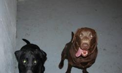 Lab puppies for sale, mom is due Feb 1/12 mom is black and dad is brown. both labs have great temperment and are very healthy. pupies have arrived  10 total, call for details and possible shipping