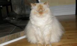Up for adoption is Stewie the flame-point himalayan cat. He's about 6.5 years old and is fixed. He's a big boy, weighing about 15 pounds, some of which is not even fat (let there be no doubt, he's a few pounds overweight, but he is a large, heavy framed