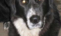 """Friendly BORDER COLLIE-X (possibly border collie/Bernese mtn.dog-x), neutered male, approimately 1-1/2 yrs.old, exceptional personality and character (fairly laid-back, too), loves everyone especially kids, 80 lbs. & 30"""" @ shoulder, IN NEED OF A NEW"""