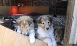 Beautiful litter, champion father, mother is from champion lines. White factored, have their first shots, are dewormed and microchipped. Great companion and family dogs. The mother is the white collie, and the father is the champion sable. Please call for