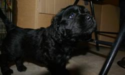 3 beautiful male Labrador cross puppies, last of litter of 6. One is jet black, the other two are black and tan. Can be seen with mother - she is a young black labrador, with a lovely, calm temperament. The puppies are very friendly and good-natured. They