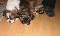 lhasa apso/shih tzu eatingon there own now good with kids dewormed yarmouth area