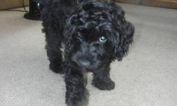 Four male miniature Australian Labradoodle puppies for sale, two gorgeous black ones and two light tan ones. These dogs are happy, no dog smell, non shedding, devoted to you, smart and easy to train. They have been microchipped, neutered, all shots and