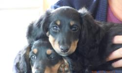 1 male left and ready to go to a home!   He is the black and cream coat variety, very affectionate, cuddly, happy go lucky and has a gorgeous thick coat.   Dachshunds make wonderful companions, they are loyal, love attention, intelligent and trainable.