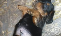 THIS LITTLE GUY IS THE LAST OF A LITTER OF 5 AND IS LOOKING FOR HIS FOREVER HOME, HE LOVES TO CUDDLE AND PLAY TUG A WAR IT IS SO FUNNY TO WATCH HIM PLAY TUG A WAR WITH HIMSELF., HE IS SO FULL OF ENERGY AND IS DOING REALLY GOOD ABOUT GOING PEE OUTSIDE. HE