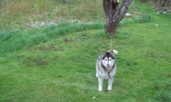 last year i gave away my purebred siberian husky his name is zero, due to a passing of his new oner he had to be re-homed would like to find out where he is.
