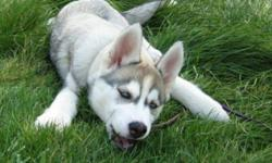 Hi I am looking for a 8 week old Siberian husky puppy. We are a very loving home for your pup we are not breeder's. We have a 160 acer ranch with cows horses dogs and more. We will take super good care for your pup. I am more looking for a gray female.