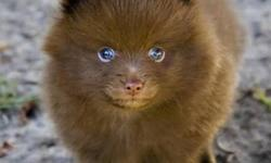 I have been looking for a female teacup pom for awhile now. I only want one that looks exactly like one of the ones in these pictures, ie. Chocolate brown, pure white or black & white. No orange or grey please. Chocolate brown would be amazing! Please